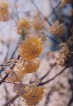 01三椏の花.jpg
